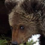 В Томском кафе Гоар медведь вырвал девушке руку СМОТРЕТЬ ВИДЕО