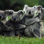 Догоняющая квадроцикл коала хотела пообниматься ВИДЕО