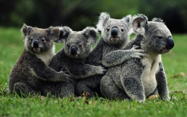 dogonyayushhaya-kvadrocikl-koala-xotela-poobnimatsya-video