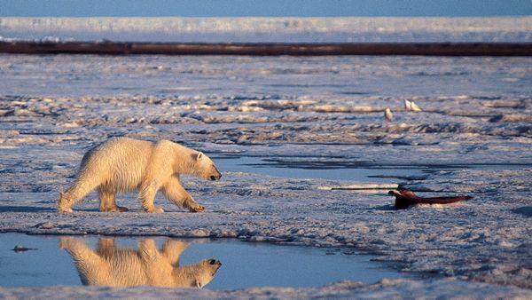 povar-v-arktike-nakormil-belogo-medvedya-vzryvpaketom-18-video