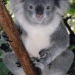 Маленькая коала расплакалась, когда ее сбросили с дерева ВИДЕО