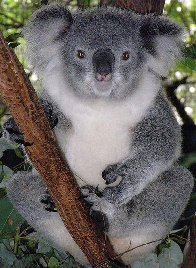 malenkaya-koala-rasplakalas-kogda-ee-sbrosili-s-dereva-video