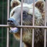 Медведь оторвал руку пьяному мужчине  ВИДЕО 18+