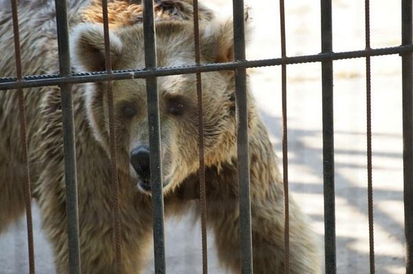 medved-otorval-ruku-pyanomu-muzhchine-video-18