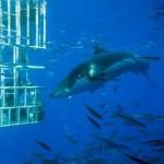 Террор в море: большая белая акула сломала клетку, где находился дайвер ВИДЕО
