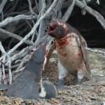 Кровавая драка между двумя пингвинами ВИДЕО
