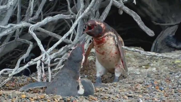 krovavaya-draka-mezhdu-dvumya-pingvinami-video