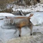 Фотография замороженной во льду лисы становится вирусной  ФОТО