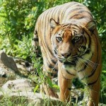 В китайском зоопарке тигр растерзал посетителя ВИДЕО 18+