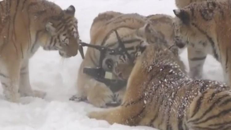 tolstye-amurskie-tigry-pojmali-i-seli-dron-video