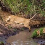 Львица в зоопарке прыгнула через ров на посетителей ВИДЕО
