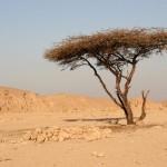Месть старого дерева двум арабам ВИДЕО