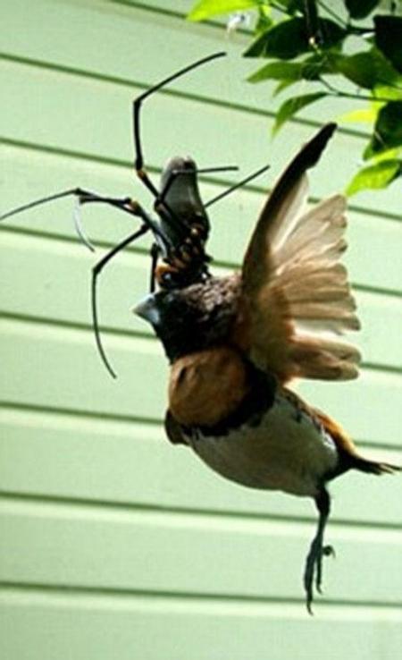 stali-izvestny-3-novyx-vida-gigantskix-paukov-foto