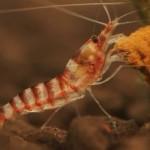 Голодная креветка пронзает и пожирает живую рыбу с сюрпризом ВИДЕО