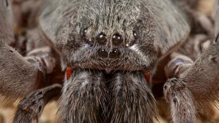 v-meksike-obnaruzhen-novyj-vid-gigantskogo-yadovitogo-pauka