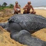 Найдена гигантская черепаха весом в 700 килограммов ВИДЕО