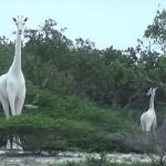 В Кении впервые сняты крайне редкие белые жирафы ФОТО ВИДЕО