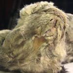 Российские ученые скоро воскресят вымершего пещерного льва ВИДЕО