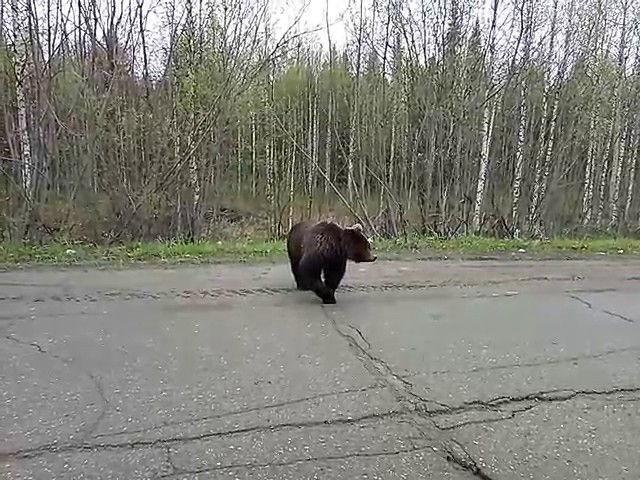v-pechore-medved-prishel-na-detskuyu-ploshhadku-video